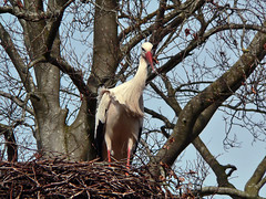 Ciconia Ciconia (1080393) (Le Photiste) Tags: clay ciconiaciconia whitestork weisstorch klapperstorch cigogneblanche blankacikonio ooievaar earrebarre animals planetearthwildlife wildlife ngc nature naturesprime rainbowofnaturelevel1red planetearthnature planetearth panasonic panasonicdmcfz4 beetsterzwaagfryslân thenetherlands nederland fauna afeastformyeyes aphotographersview autofocus artisticimpressions blinkagain beautifulcapture bestpeople'schoice creativeimpuls cazadoresdeimágenes digifotopro damncoolphotographers digitalcreations django'smaster friendsforever finegold fairplay greatphotographers groupecharlie peacetookovermyheart clapclap hairygitselite ineffable infinitexposure iqimagequality interesting inmyeyes livingwithmultiplesclerosisms lovelyflickr myfriendspictures mastersofcreativephotography niceasitgets magicmomentsinyourlife photographers prophoto photographicworld photomix soe simplysuperb showcaseimages simplythebest thebestshot theredgroup thelooklevel1red simplybecause vividstriking wow worldofdetails yourbestoftoday perfectview beautiful natureview