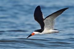 Black Skimmer (adbecks) Tags: black skimmer wildlife nj d500 300 pf