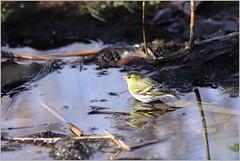 Badetag (Maggi_94) Tags: zeisig finken fink fringillidae vogel vögel bird birds siskin erlenzeisige carduelisspinus singvögel singvogel passeri male männchen