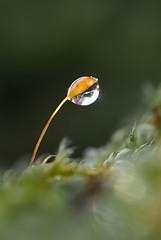 (skloi) Tags: drop droplet tropfen moos moss green grün wood forest macro frozen eis ice