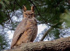Great Horned Owl, NJ (stephenwalshphoto) Tags:
