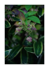 2018/11/24 - 17/18 photo by shin ikegami. - SONY ILCE‑7M2 / Lomography New Jupiter 3+ 1.5/50 L39/M (shin ikegami) Tags: マクロ macro 紫陽花 flower 花 井の頭公園 吉祥寺 autumn 秋 sony ilce7m2 sonyilce7m2 a7ii 50mm lomography lomoartlens newjupiter3 tokyo sonycamera photo photographer 単焦点 iso800 ndfilter light shadow 自然 nature 玉ボケ bokeh depthoffield naturephotography art photography japan earth asia