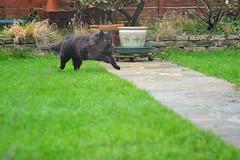 Going home (3) (Caulker) Tags: vaska cat running lawn garden froend