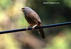 IMG_1932 Jungle babbler (Turdoides striatus) (vlupadya) Tags: greatnature animal bird aves fauna indianbirds jungle babbler turdoides kundapura karnataka