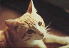 Remembering Avon - a super sweet kittie (http://www.yashicasailorboy.com) Tags: cat kittie avon yokohama japan 1970s canon f1 35mm film camera analog tomcat