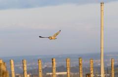 Past the post. (nondesigner59) Tags: shortearedowl asioflammeus hunting bird nature wildlife owl flight copyrightmmee eos7dmkii nondesigner nd59