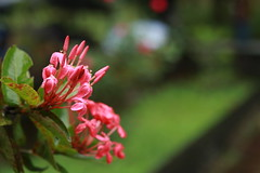 Hoa Trang (ythanhnguyen.vxl) Tags: rain vietnam hue flowers trees drop water canon750d 750d 50mm flower garden plant