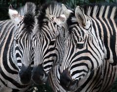 zebra Blijdorp 094A0359 (j.a.kok) Tags: zebra animal africa mammal zoogdier dier herbivore blijdorp