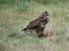 Buzzard with a pheasant dinner (alanrharris53) Tags: bird aves birds buzard buzzard buteobuteo pheasant