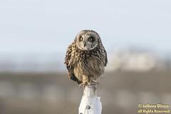 "Short-eared Owl (9112) (Anthony ""Tony G"" Gliozzo (Web Site is ocbirds.com)) Tags: shortearedowl owl shortie shorty anthonygliozzo stanwood washington raptor prey daytime perched ocbirdscom asioflammeus camanoisland"
