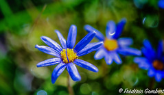 Rainy (frederic.gombert) Tags: flower flowers light color blue yellow rain water bloom blossom drop droplet winter macro nikon