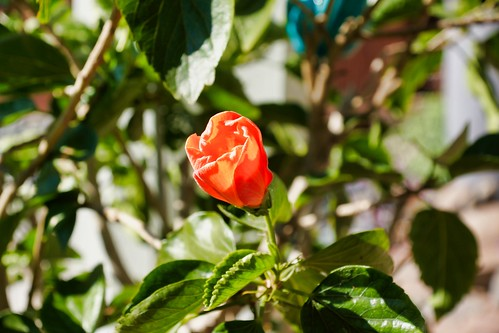 Nature Photography - Flowers - Hibiscus before Lunch