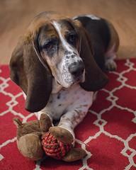 Moose and the Monkey (lancekingphoto) Tags: basset hound dog dogtoy stuffedmonkey fujifilmxt2 meike35mmf17