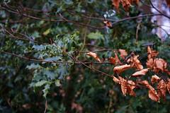 some colors in the winter forest (Jos Mecklenfeld) Tags: forest bos wald nature natur natuur tree baum boom oak eiche eik nulbos westerwolde niederlande nederland sonya6000 sonyilce6000 minoltamdwrokkor35mmf28 minolta minoltamd terapel groningen netherlands nl