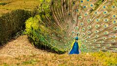 Warwick, United Kingdom (tomst.photography) Tags: peacock pfau nature animal colorful pavone warwick england unitedkingdom beauty feathers peafowl pavo afropavo chordata phasianidae tomst