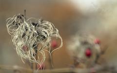 Pretty Messy (Fourteenfoottiger) Tags: patterns texture pretty seeds seedheads nature plants messy strands berries winter flowers countryside garden bokeh helios44m vintagelens vintagebokeh