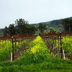 Winter Vineyard (Steven P. Moreno) Tags: rutherfordcalifornia winecountry stevenpmoreno vineyard napacounty stevenmorenospix2019 nature outdoor trees seasonal