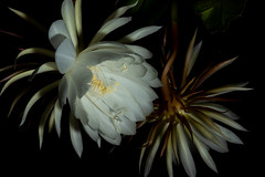 Queen Front and Back (armct) Tags: epiphyllumoxypetalum epiphyllum oxypetalum cactus queenofthenight queen epi nightblooming flower americas rainforest