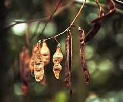 Grab Life By the Beans (barbara_donders) Tags: natuur nature herfst autumn fall bonen bokeh macro forest bos mooi prachtig magisch magical beautiful