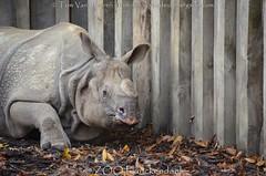 Indische Neushoorn - Rhinoceros unicornis - Indian rhinoceros (MrTDiddy) Tags: indische neushoorn rhinoceros unicornis indian karamat zooplanckendael zoo planckendael dierenpark