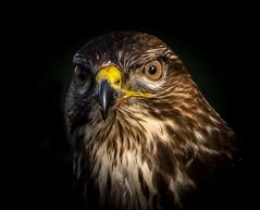 Portrait of a Buzzard-1 (tiger3663) Tags: buzzard portrait yorkshire wildlife park