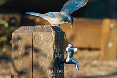 California Scrub-Jay (Aphelocoma californica) (emiliechenphotography) Tags: autumn 2018 bird chilaocampground californiascrubjay aphelocomacalifornica