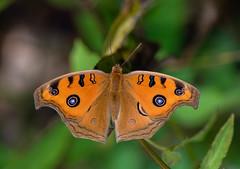 Junonia almana (Changer4Ever) Tags: 眼蛺蝶 junoniaalmana nikon d750 1050mmf28 butterfly insect animal life nature wild wildlife closeup macro dof depthoffield bokeh wings season 草 蝴蝶