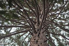 Oak Glen Trees (ronkacmarcik) Tags: sequoia oakglen parrish ranch california tree nikkor357028