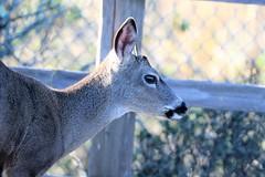 Odocoileus hemionus columbianus Black-tailed Deer (David A. Hofmann) Tags: mammal holeinthehead campbellcove bodegabay bodegaheadstatepark sonomacounty california odocoileushemionuscolumbianus blacktaileddeer