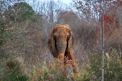 pachyderm paradise (ucumari photography) Tags: ucumariphotography animal mammal nc north carolina zoo december 2018 elephant pachyderm loxodontaafricana dsc2877 specanimal
