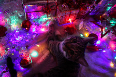 Edie Downwards view (sophieoliviaphotography) Tags: christmas kittens cats brandonwoelful fairylights presents december winter pets