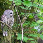 Barred Owl thumbnail