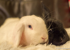 Marble and Nova (daveseargeant) Tags: medway rochester rabbit rabbits lop colour nikon df 50mm 18g