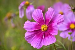_DSC3903 (SHAN DUTTA) Tags: cosmos nikond5300 2019 flower bokeh