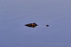 11-12-18-0041984 (Lake Worth) Tags: animal animals bird birds birdwatcher everglades southflorida feathers florida nature outdoor outdoors waterbirds wetlands wildlife wings