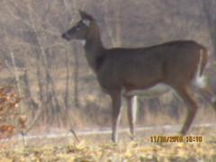 Deer moving (696ronz) Tags: deer fall hunting bow patterns mammels vegitarian