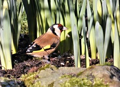 Goldfinch in the garden (ronmcbride66) Tags: goldfinch garden daffodils sunflowerhearts macro coth coth5