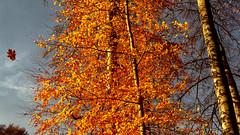 Catch a Falling Leaf (L I C H T B I L D E R) Tags: leaf blatt köln cologne germany stadtwald baum tree jahreszeiten herbst fall autumn outdoor pflanze november himmel cityforest urbanpark wald park holz