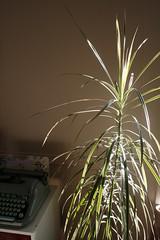 _MG_7324 (condor avenue) Tags: dracaena dragontree plantbabies houseplants goldenhour
