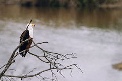 Master of this Domain (thisbrokenwheel) Tags: africa avian nature birdwatching sabieriver wildernesspreserve knp eagle africanfisheagle southafrica feathers travel nationalpark bird wildlife lowersabie river fisheagle conservation sanparks krugerpark