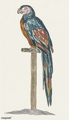 A Parrot by Johan Teyler (1648-1709). Original from The Rijksmuseum. Digitally enhanced by rawpixel. (Free Public Domain Illustrations by rawpixel) Tags: animal antique art artwork avian beak beautiful beauty bird branch color colorful design domestic domesticated drawing fancy fauna feather illustrated illustration johanteyler leaf name native natural nature old one ornithology paint painting parrot perched pet plumage portrait retro single stick tail vintage wild wildlife wing