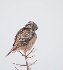 Sleeping Northern Hawk Owl (Mark Polson) Tags: northernhawkowl saxzim animal bird bog owl perched winter