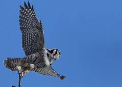 Northern Hawk Owl...#12 (waldo takes flight) (Guy Lichter Photography - 4.4M views Thank you) Tags: owlnorthernhawk canon 5d3 canada manitoba winnipeg wildlife animal animals bird birds owl owls