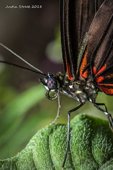 Brookside Butterfly 2018-18 (strjustin) Tags: butterfly insect bug macro beautiful