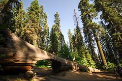 (Federico Pensa) Tags: sequoianationalpark california usa westcoast pacific rockies nationalpark sequoia sherman grant sierranevada legno foresta albero cielo