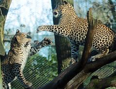 Shrilankan Panther Burgerszoo 094A1767 (j.a.kok) Tags: animal asia azie panter panther leopard luipaard shrilankapanter shrilankanpanther shrilankaansepanter shrilankanleopard welp cub panterwelp leopardcub panthercub pantheraparduskotiya mammal zoogdier dier predator burgerszoo burgerzoo cat kat