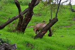 DSC_0059 (tracie7779) Tags: blacktaileddeer losangeles muledeer thegettymuseum california grass hillside