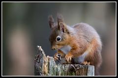 IMG_0060 Red Squirrel (Scotchjohnnie) Tags: redsquirrel sciurusvulgaris squirrel squirrelphotography mammal rodent wildanimal wildlife wildlifephotography wildandfree nature naturephotography canon canoneos canon7dmkii canonef70200mmf28lisiiusm scotchjohnnie