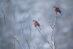 Pine Grosbeaks (NicoleW0000) Tags: pinegrosbeak grosbeak bird red wildlife nature trees tree snowing snowfall snow colours ontario