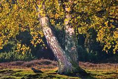 Birch in the new autumn dress (flowerikka) Tags: autumn autumncolors autumnleaves baum baumstamm birchtrees birches birke forest golden gras grass green herbst herbstblätter leaves light magicallight moos nature nordrheinwestfalen season sun trees wald walk wood trunk moss